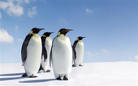 Wallpaper Four penguins