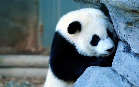Fond d'écran Panda méchant