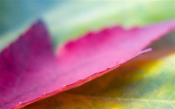 Fond d'écran Violet Maple Leaf Macro