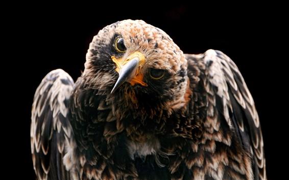 Wallpaper Eagle watching