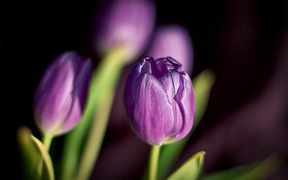 Fond d'écran Fleurs tulipes pourpres pétales du printemps