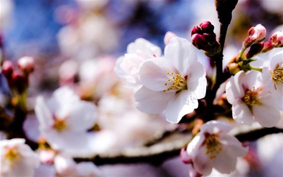 Обои Яблоня белые цветы весной