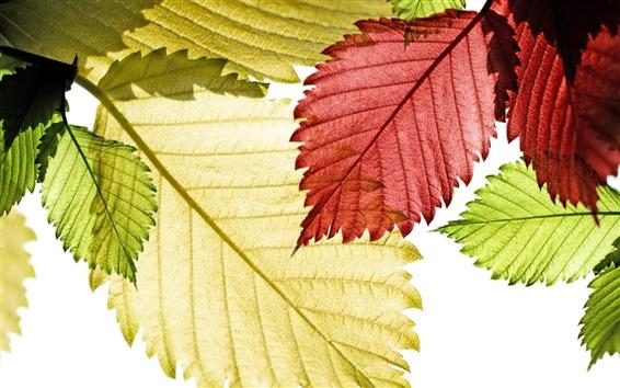 Fondos de pantalla Close-up de color rojo, hojas verdes y amarillas
