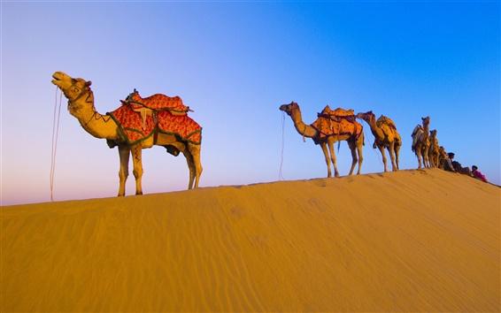 Wallpaper Desert camel