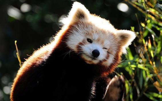 Papéis de Parede Raccoon animais engraçados