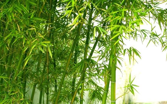 Wallpaper Green fresh bamboo