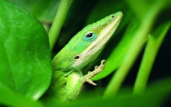 배경 화면 녹색 도마뱀