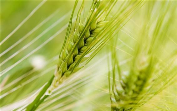 Wallpaper Macro of green wheat