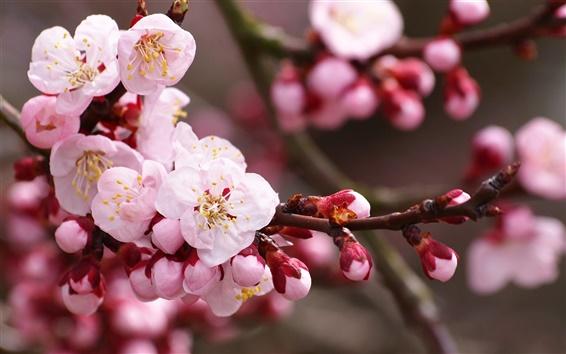 壁紙 ピンクの梅