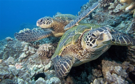 Wallpaper Two sea turtles