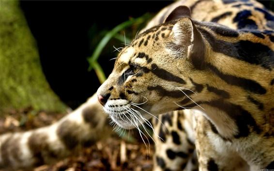 Wallpaper Cheetah's attention