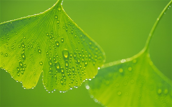 Wallpaper Ginkgo leaves with water drops close-up