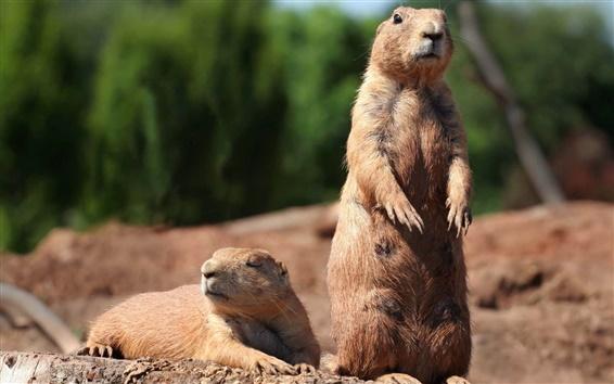 Papéis de Parede Groundhog