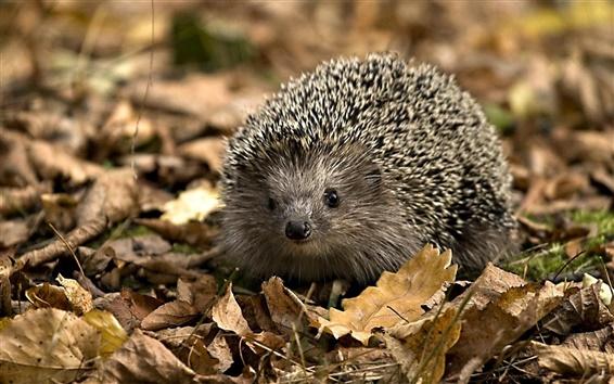 Wallpaper Hedgehog leaves fall