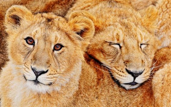 Wallpaper Lion feline predators
