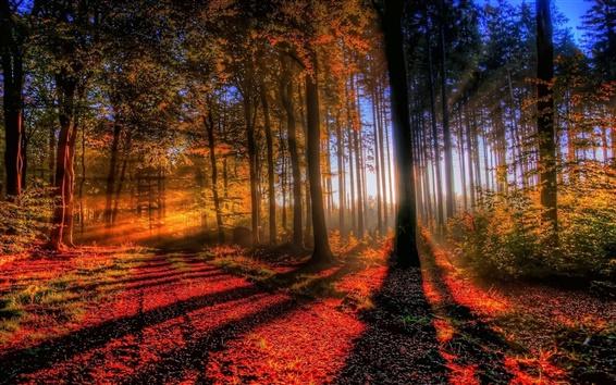 Fond d'écran Maple forêt ombre et lumière