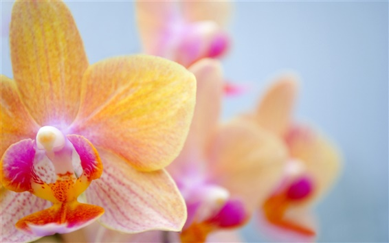 Wallpaper Orange butterfly orchid