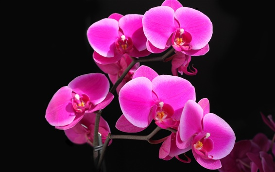 Wallpaper Phalaenopsis orchid crimson beautiful