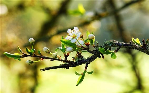 Обои Теплый весенний белые цветы на ветках