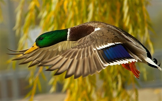 Wallpaper Wild duck flying close-up photography