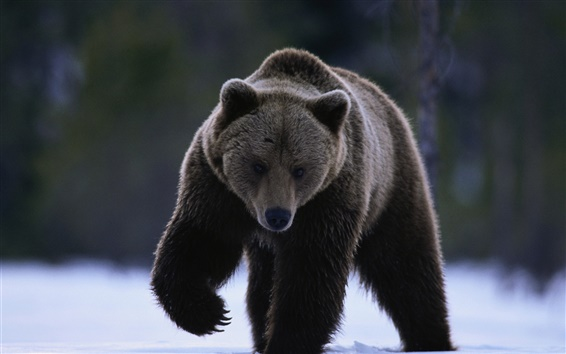 Wallpaper Black bear on snow