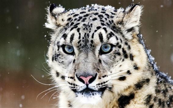 Fond d'écran Bleu yeux léopard des neiges