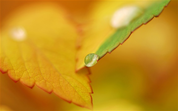 Wallpaper Dew on autumn orange leaves