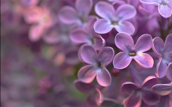배경 화면 네 꽃잎 자주색 꽃