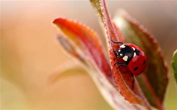 Wallpaper Leaf flower ladybug