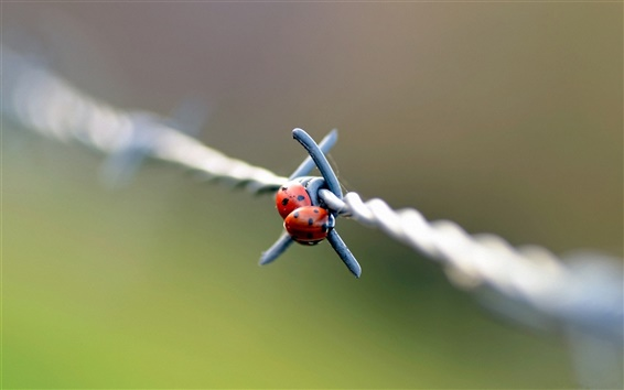 Wallpaper Two ladybugs on the barbed wire