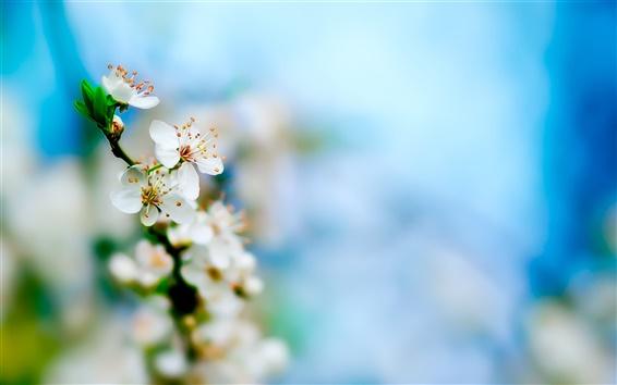 배경 화면 화이트 사과 꽃