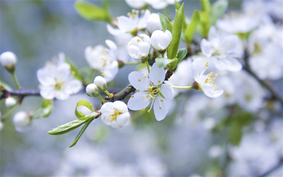Wallpaper Apple blossom flower buds of white petals branch