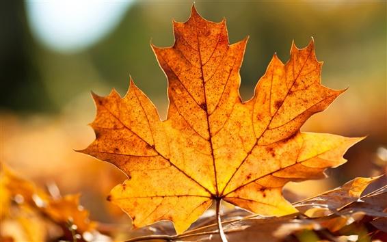 Обои Осенний лист клена крупным планом
