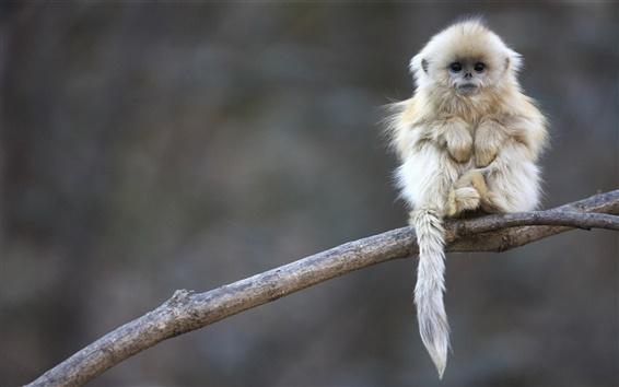 Wallpaper Cute shaggy macaque
