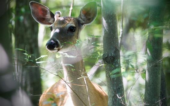 Wallpaper Deer in the forest