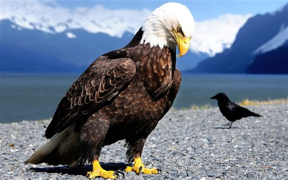 Wallpaper Eagle and raven close-up photography