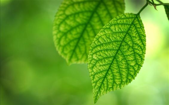 Fond d'écran Feuilles vertes fraîches du printemps