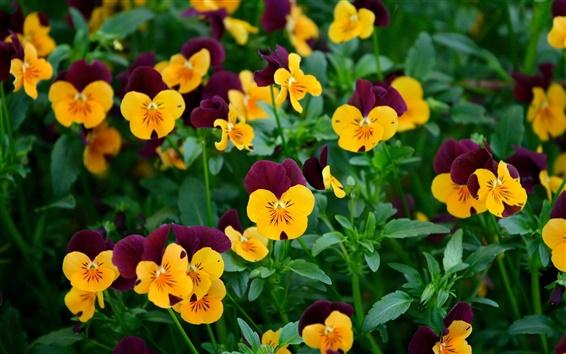Papéis de Parede Muitas flores amor-perfeito