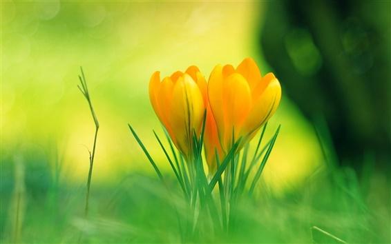 Обои Оранжевые цветы в траве