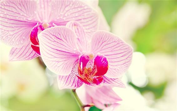 Wallpaper Phalaenopsis orchid flower macro