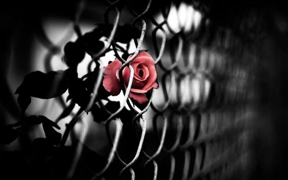 Papéis de Parede Fence Rose