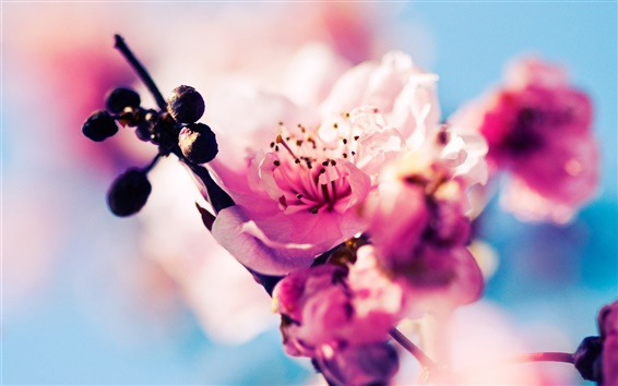 壁纸 樱花盛开粉红色的花朵