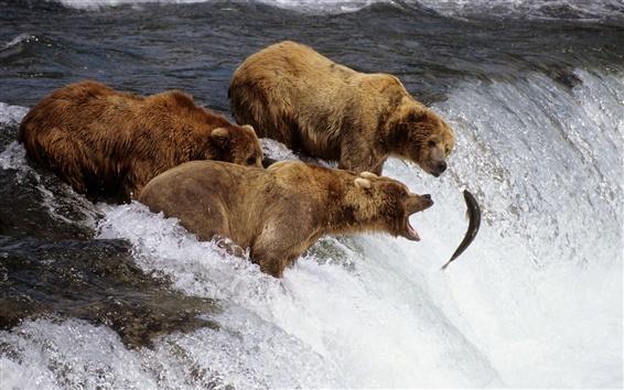 Wallpaper Three bears fishing fish