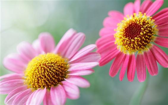 Wallpaper Two pink chrysanthemum