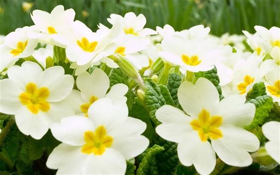 Wallpaper White flowers background