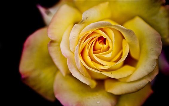 Fond d'écran Yellow rose en pleine floraison close-up