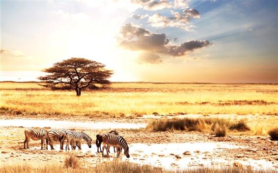 Wallpaper African animals zebra savanna