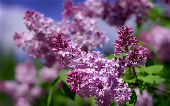 Wallpaper Beautiful lilac