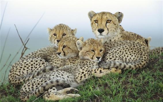 배경 화면 치타 가족