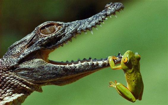 Wallpaper Crocodile and the Frog